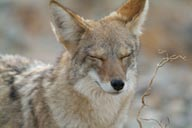 Coyote, closed eyes.