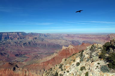 Raven flies high over Grand Canyon