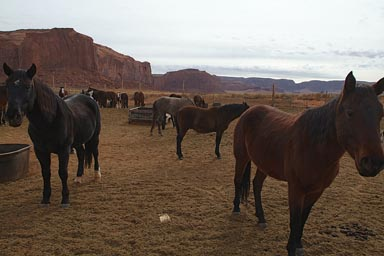 Mules, Monument Valley.