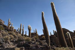 Huge cacti, on Inca Huasi, Uyuni, Bolivia.