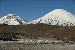 Llamas in front of volcanoes Pomerape and Parinacota, head home over the Altiplano. Northern Chile.