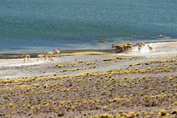 A the shore high up at 4,200m guanacos on Laguna Miniques.