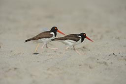 2 birds with red pegs on Playa La Rinconada.