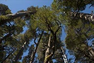 Fitzroya trees and blue sky, Hornopiren NP, Chile.