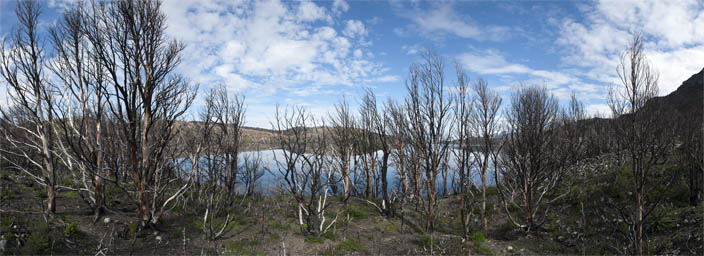 Panorama of burnt trees in Torres del Paine NP.