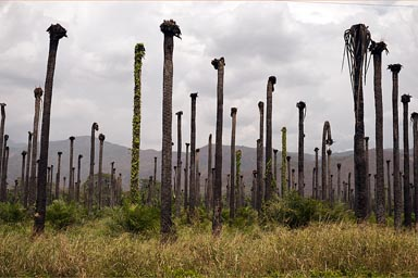 Destroyed oil palm plantations. Near Valledupar, Colombia.
