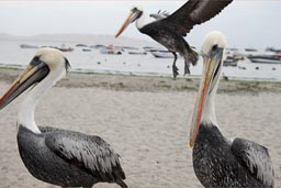 Pelicans in Paracas and one flies in.