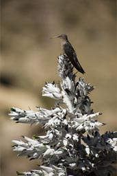 On top a small scrub tree with blooms. Colca Canyon still giant hummingbird, Peru.
